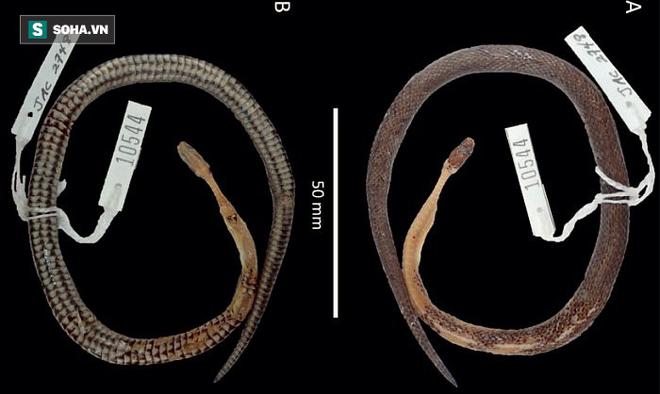 Phát hiện loài rắn mới khi mổ bụng rắn cực độc vùng Trung Mỹ 1