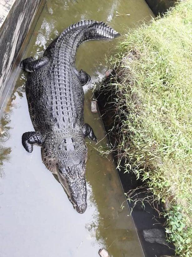 Kinh hãi cảnh cá sấu lao lên nuốt sống người cho ăn 1
