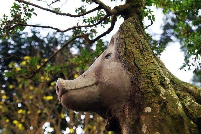 Hình ảnh Cận cảnh cây khế đầu heo có giá nửa tỷ đồng được bày bán thu hút người dân Sài Gòn số 5