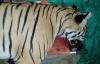 Hổ ăn thịt 7 người bị kiểm lâm bắn hạ