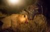 Trâu rừng đơn độc chống lại đàn sư tử đói mồi