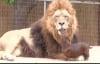 Đời sống - Choáng với chú cún thản nhiên vuốt râu sư tử