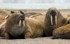 Hàng nghìn con hải mã chạy nạn vì băng tan ở Bắc Cực