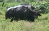 Phú Yên: Nông dân đang cầu cứu vì bị bò tót tấn công