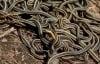 Phát hiện 102 con rắn sọc trong nhà