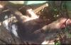 Bị heo rừng rượt đuổi, nam thanh niên vứt xe máy leo lên cây thoát thân