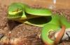 135 người bị rắn lục đuôi đỏ cắn ở Quảng Ngãi