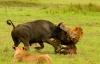 Mẹ con trâu rừng đơn độc chống trả 2 con sư tử