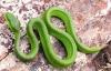 Những thông tin đặc biệt nguy hiểm của rắn lục đuôi đỏ