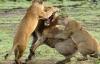 Sư tử săn hụt mẹ con báo đốm