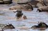 Cá sấu khủng hạ gục cả đàn linh dương di cư qua sông