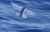 Cận cảnh loài cá bay như chim để tránh kẻ thù