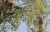 Báo đốm hung hãn rượt đuổi khỉ trên cây