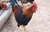 Ly kỳ chuyện săn ma gà giữa đại ngàn Xuân Sơn
