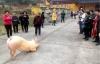 Lợn quỳ gối trước cổng chùa nghe niệm Phật