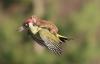 Chuyện lạ: Chồn cưỡi chim gõ kiến bay trên bầu trời