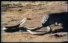 Clip hổ mang chúa bị rồng Komodo nuốt chửng