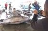 Ngư dân Nhật Bản đánh được cá ngừ khổng lồ nặng gần 4 tạ