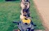 Thú vị chú chó điều khiển xe mô tô siêu như người
