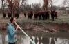 Đàn bò tập trung say sưa nghe nhạc