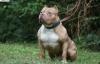 Sốc với màn phi thẳng lên tường cao của chó Pitbull
