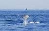 California: Hàng nghìn con cá đuối quỷ nhảy lên mặt nước