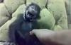 Chú khỉ cười như người vì bị cù nách