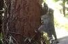 Đáng yêu clip chồn hương mẹ dạy con leo cây