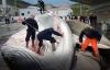 Cận cảnh mùa săn bắt cá voi bị chỉ trích gay gắt ở Iceland