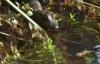 Cảnh săn mồi khốc liệt của rắn khổng lồ và cá sấu