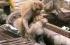 Giải trí - Chú khỉ thông minh tìm mọi cách cứu bạn bị điện giật