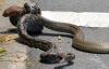Video: Trăn và rắn hổ mang chúa quyết chiến trên đường phố