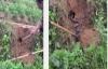Bắt 2 con rắn hổ mang nặng 1kg ở Vĩnh Phúc