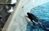 Cá voi tinh quái ngậm cá trong miệng làm mồi nhử chim biển
