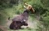 Bị đồng loại tấn công, sư tử cầu cứu trâu rừng và cái kết bất ngờ
