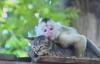 """Tình yêu """"không biên giới"""" giữa khỉ và mèo"""