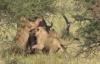 Voi dũng mãnh cứu trâu rừng thoát khỏi bầy sư tử