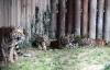 Bầy hổ Siberia xẻ thịt gà lôi trong công viên ở Trung Quốc