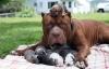 Video: 10 chú chó lớn nhất thế giới