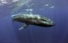 Cận cảnh loài cá voi xanh khổng lồ nặng 170 tấn, dài 32m