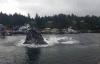 Cá voi khổng lồ bất ngờ lao lên đớp mồi ngay sát bờ
