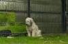 Chủ nhân qua đời 5 năm, chó vẫn đứng canh cổng hàng đêm