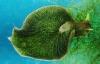 Cận cảnh sên biển có nọc độc, nuốt trọn cá trong nháy mắt