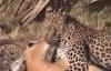 Khỉ liều mình tấn công báo đốm giúp linh dương thoát hiểm ngoạn mục