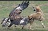 Đại bàng hung hãn tấn công người, gấu và chó sói