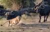 Rình ăn thịt nghé con, sư tử bị trâu mẹ rượt đuổi chạy trối chết