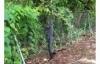 Cá sấu băng qua hàng rào thép đột nhập vào một sân golf