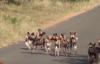Cận cảnh lợn dũng cảm đối diện trước một bầy chó săn