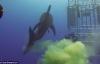 Hy hữu cảnh cá mập sát thủ đại dương