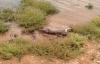 Bầy cá sấu ngang nhiên cướp mồi của sư tử